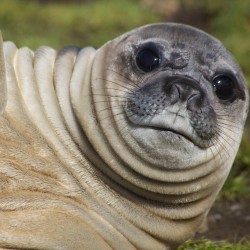 Grytviken - Simon Bottomley - Elephant Seal (pup)