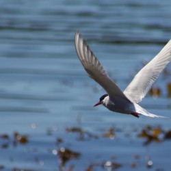Grytviken - Simon Bottomley - Antarctic Tern