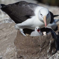 Albatross and chick on nest (photo by Jill Mellor) West Point